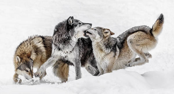 Photograph - Wolf Kisses by Wes and Dotty Weber