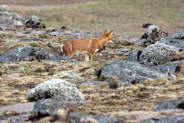 Red Wolf Photograph - Wolf On The Sanetti Plateau, Ethiopia by Aidan Moran