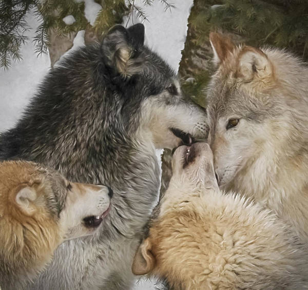 Photograph - Wolf Pack by Wes and Dotty Weber