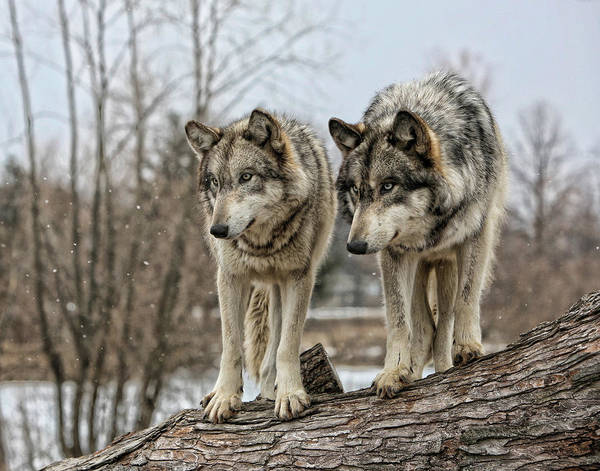 Timberwolves Photograph - Wolf Pair by Shari Jardina