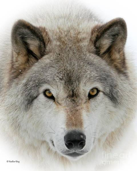 Arctic Wolves Photograph - Wolf Portrait by Heather King