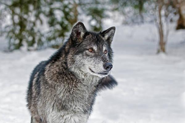 Photograph - Wolf Portrait by Scott Read
