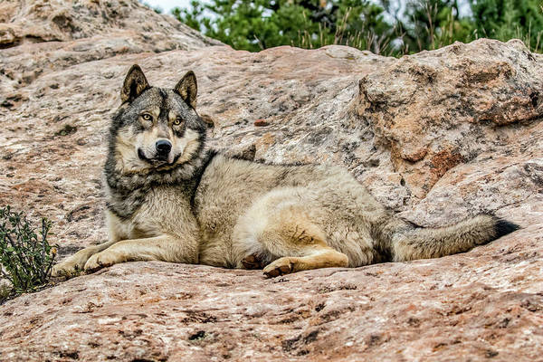 Wall Art - Photograph - Wolf Reclines by Dawn Key