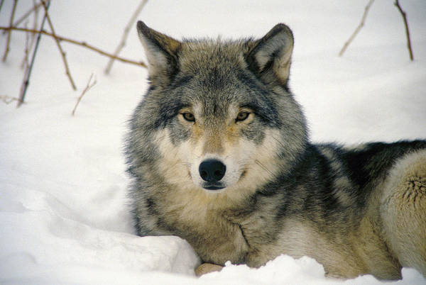 Wolf Rests In Snow Art Print