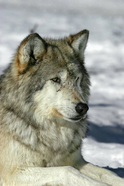 Photograph - Wolf by Ronnie and Frances Howard