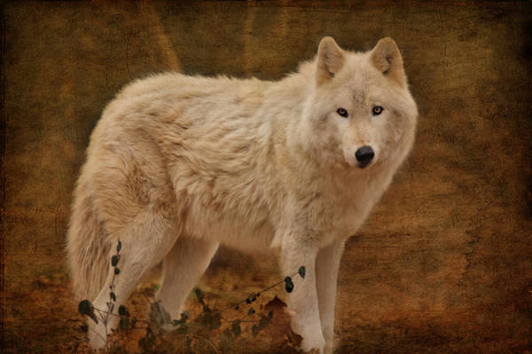 Arctic Wolves Photograph - Wolf by Sandy Keeton