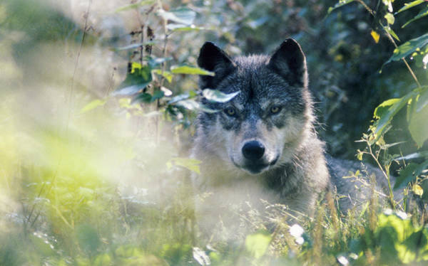 Photograph - Wolf Stare by Steve Somerville