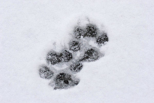 Photograph - Wolf Tracks by Mark Miller