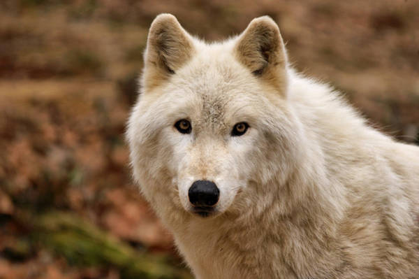 Arctic Wolves Photograph - Wolf Watching by Sandy Keeton