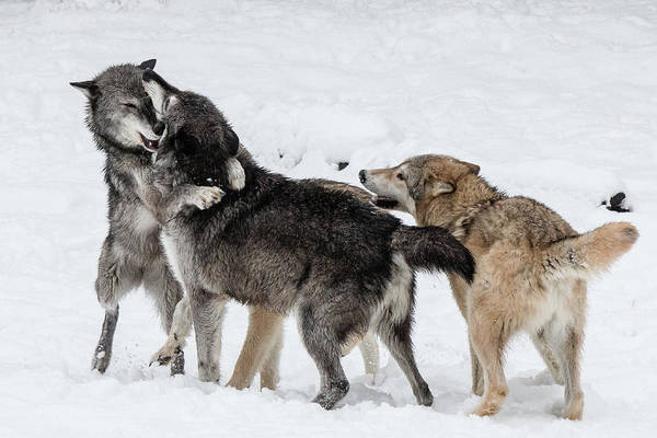 Arctic Wolves Photograph - Wolves At Play by Teresa Wilson