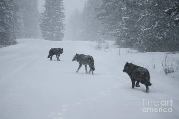 Photograph - Wolves by Wilko Van de Kamp