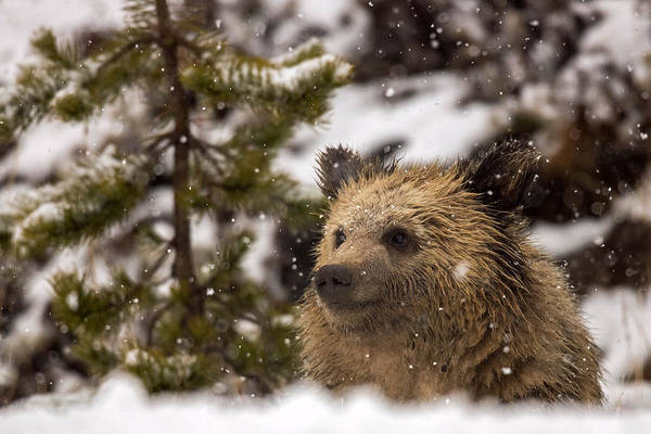 Grizzly Bears Photograph - Wonder by Sandy Sisti