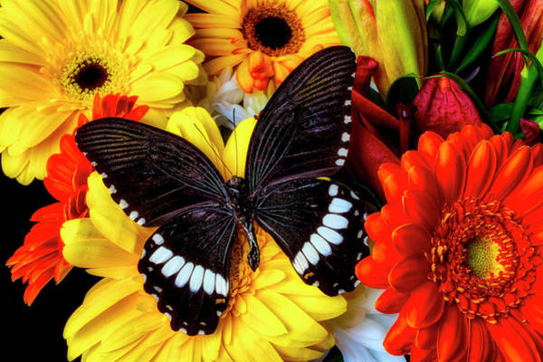 Gerbera Daisy Photograph - Wonderful Black Butterfly by Garry Gay