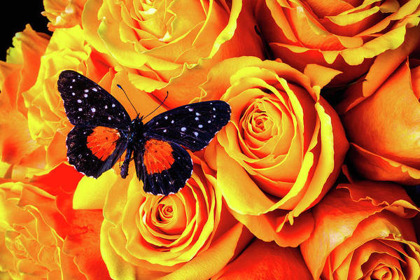 Orange Rose Photograph - Wonderful Black Orange Butterfly by Garry Gay