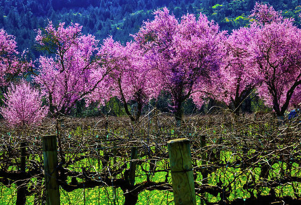 Wall Art - Photograph - Wonderful Cherry Trees In Vineyards by Garry Gay