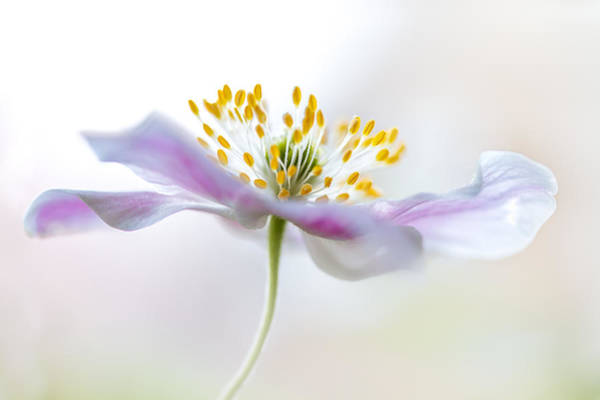 Macro Photograph - Wood Anemone by Mandy Disher