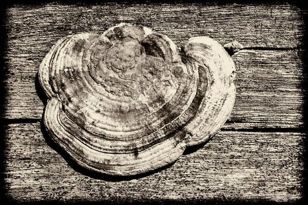 Photograph - Wood Decay Fungi, Nagzira, 2011 by Hitendra SINKAR