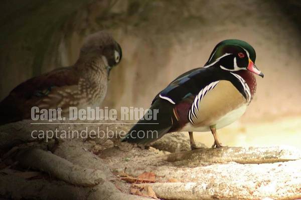 Photograph - Wood Duck 5786 by Captain Debbie Ritter