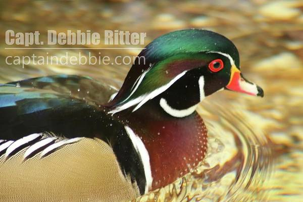 Photograph - Wood Duck 5787 by Captain Debbie Ritter