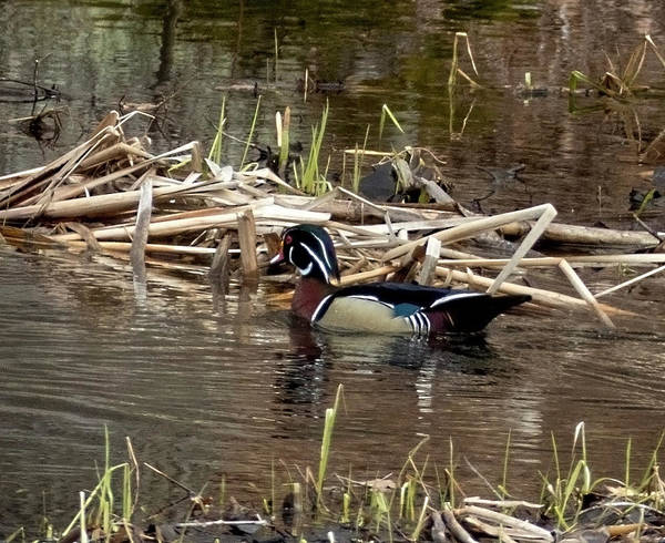 Photograph - Wood Duck  by Betty Pauwels