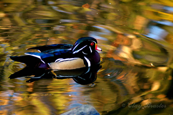 Photograph - Wood Duck by Clayton Bruster