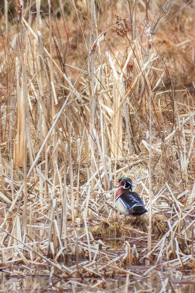 Photograph - Wood Duck Drake 2 by Bill Wakeley