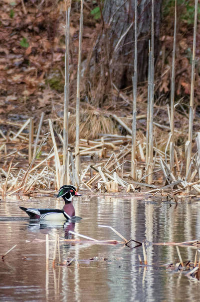 Photograph - Wood Duck Drake 2018 by Bill Wakeley