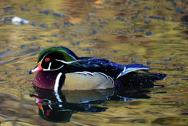 Wall Art - Photograph - Wood Duck Drake by Whispering Peaks Photography