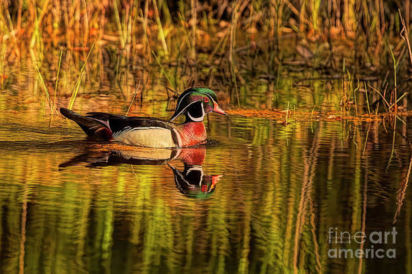 Wall Art - Photograph - Wood Duck Evening by Deborah Benoit