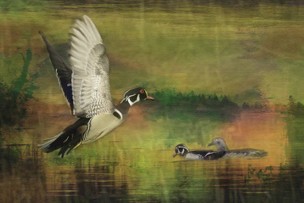 Photograph - Wood Duck Flight by Patti Deters