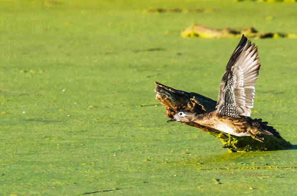 Photograph - Wood Duck Hen Takes Flight by Edward Peterson