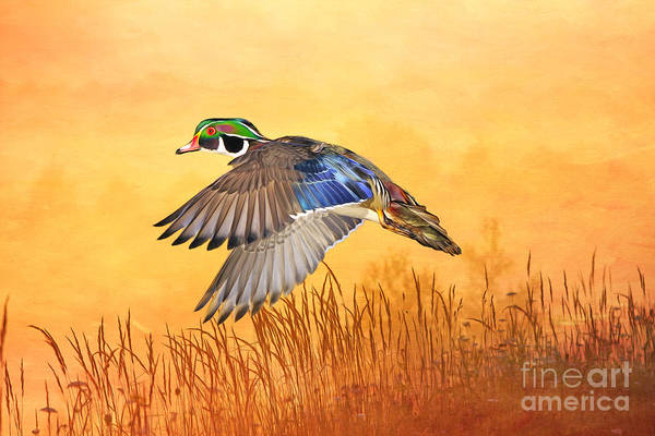 Marshland Photograph - Wood Duck In Flight by Laura D Young