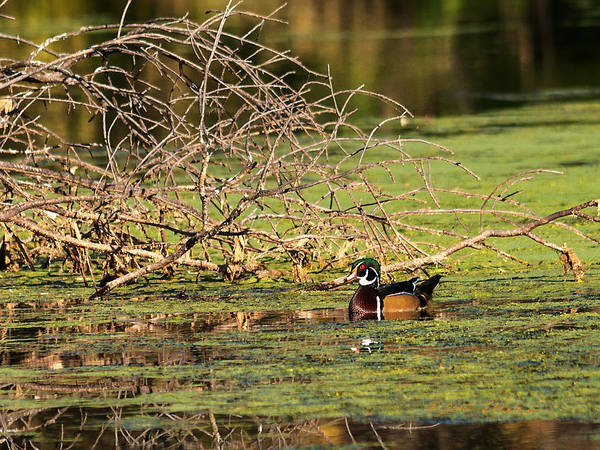 Photograph - Wood Duck In The Fall by Edward Peterson