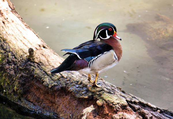 Duck Hunt Photograph - Wood Duck by Karen Scovill
