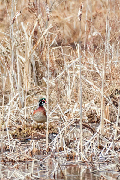 Photograph - Wood Duck Mates 2018 by Bill Wakeley