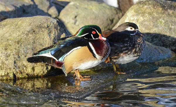 Wall Art - Photograph - Wood Duck Pair by Whispering Peaks Photography