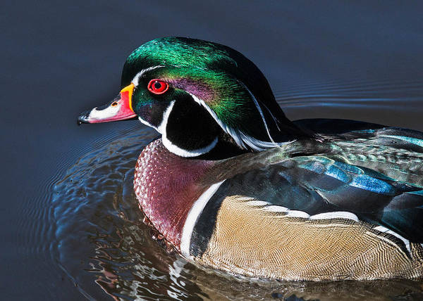 Wall Art - Photograph - Wood Duck Portrait by Dawn Key
