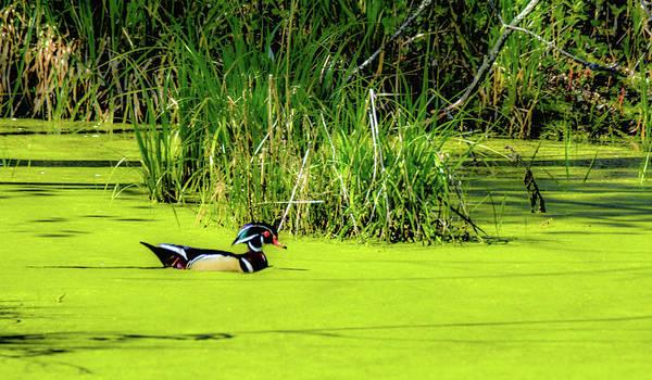 Photograph - Wood Duck by Randy J Heath