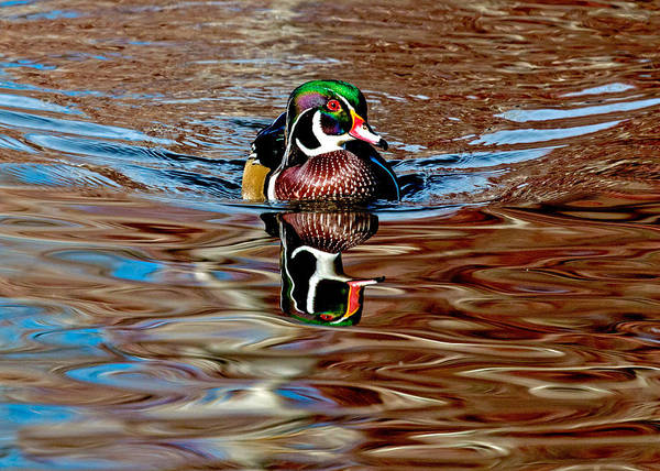Wall Art - Photograph - Wood Duck Reflection Brown by Dawn Key