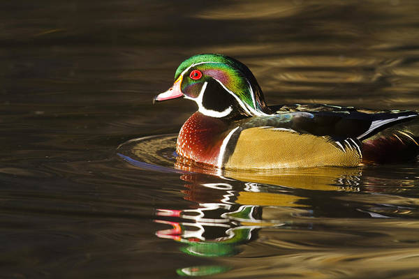 Wood Duck Reflection Art Print