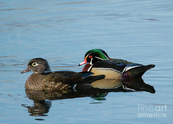 Bird Pair Photograph - Wood Duck Reflections by Mike Dawson