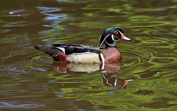 Photograph - Wood Duck by Sandy Keeton