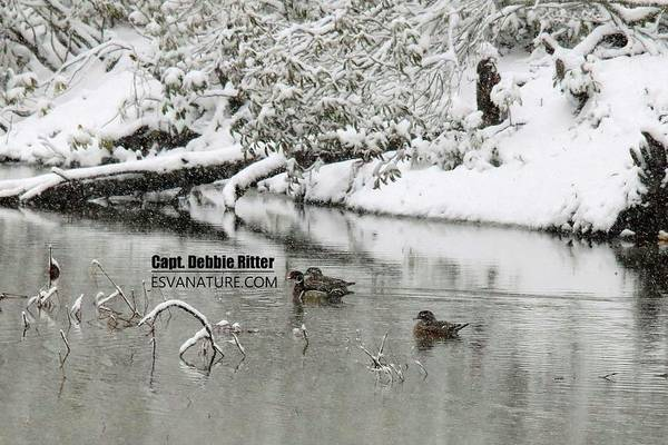 Photograph - Wood Duck Snow 4524 by Captain Debbie Ritter