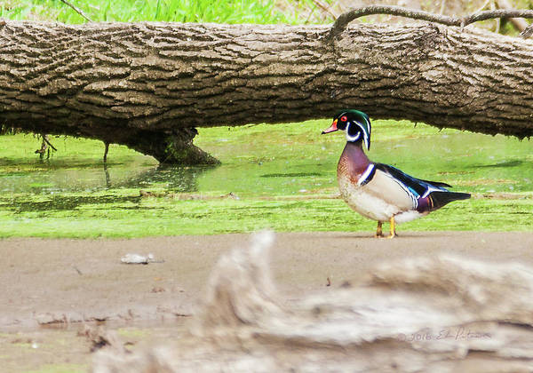 Photograph - Wood Duck Standing Proud by Edward Peterson