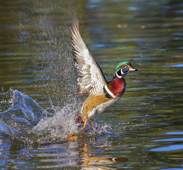 Photograph - Wood Duck Taking Off With A Splash by Judi Dressler