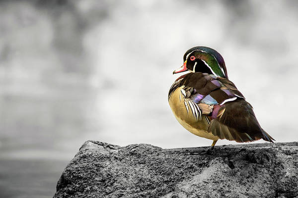 Photograph - Wood Duck With Selective Color by Don Johnson