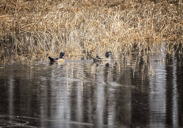 Wall Art - Photograph - Wood Ducks 2016-1 by Thomas Young