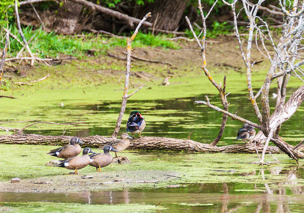 Photograph - Wood Ducks And Green-winged Teal by Edward Peterson
