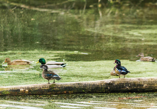 Photograph - Wood Ducks And Mallards by Edward Peterson