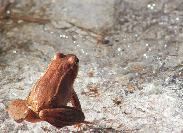 Wall Art - Photograph - Wood Frog And Frozen Vernal Pool by John Burk